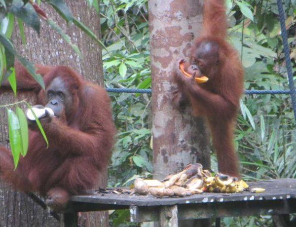 Endlich Orang Utans. Ein Besuch im Semenggoh Naturreservat in Kuching.