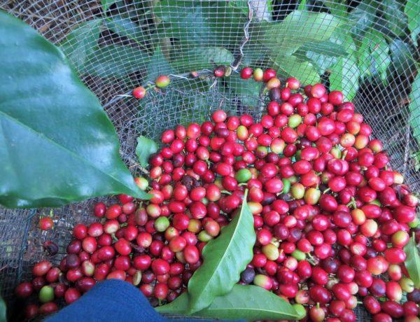 Kaffeeernte mit Workaway - Hoffentlich füllt sich der Korb schnell.