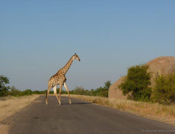 Safari in Südafrika: Zebra Crossing im Kruger Nationalpark.