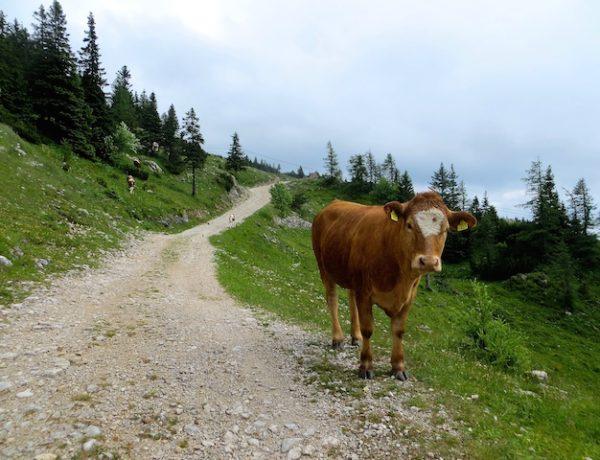 Auf der Alp Velika planina, den Steiner Alpen.