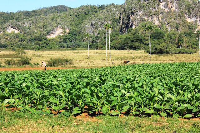 Tabakfarm in Viñales in Kuba.