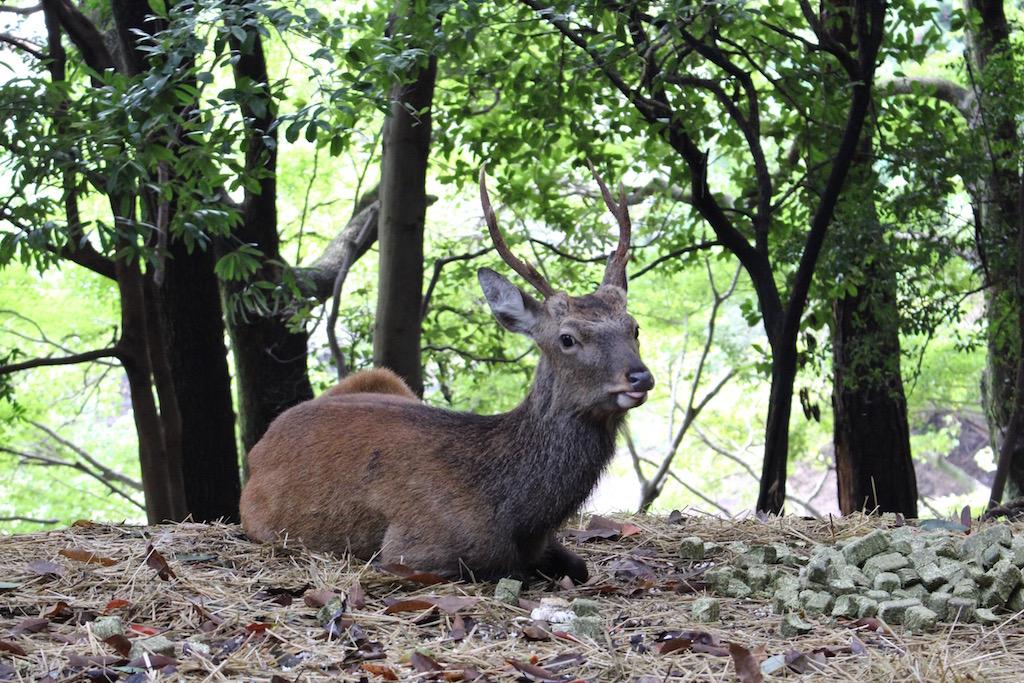 Zahmes Wild auf der Insel Miyajima.