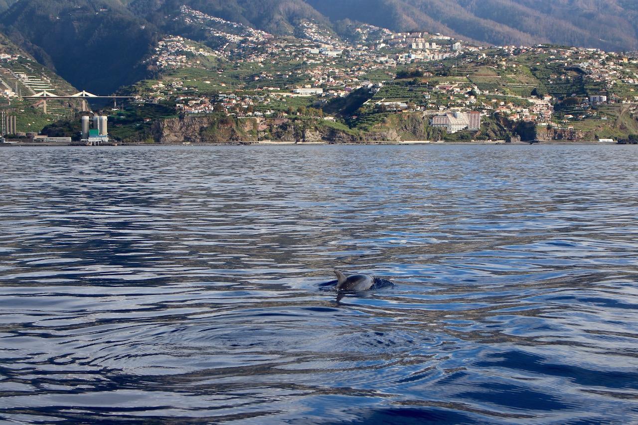 Delfine sind ganz nah zur Küste Funchals zu beobachten.