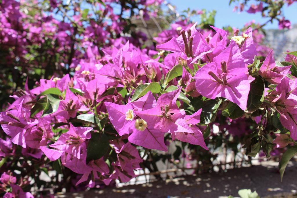 Blumenpracht auf Capri.