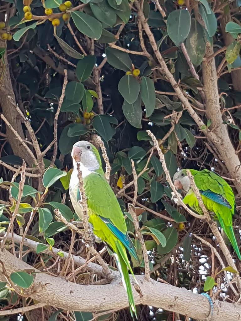 Überall in Málaga fliegen einem Papageien um die Ohren!