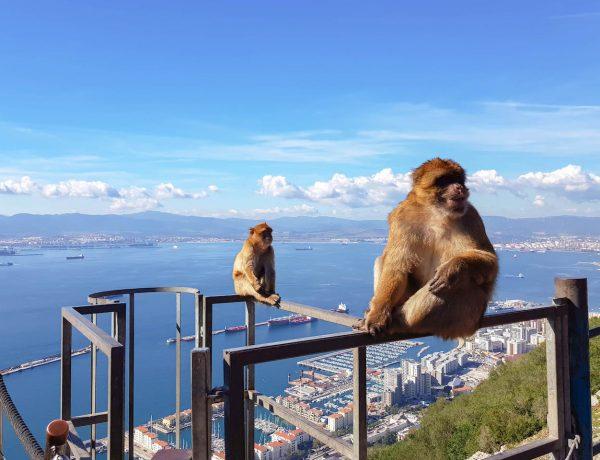 Berberaffe auf dem Felsen von Gibraltar.