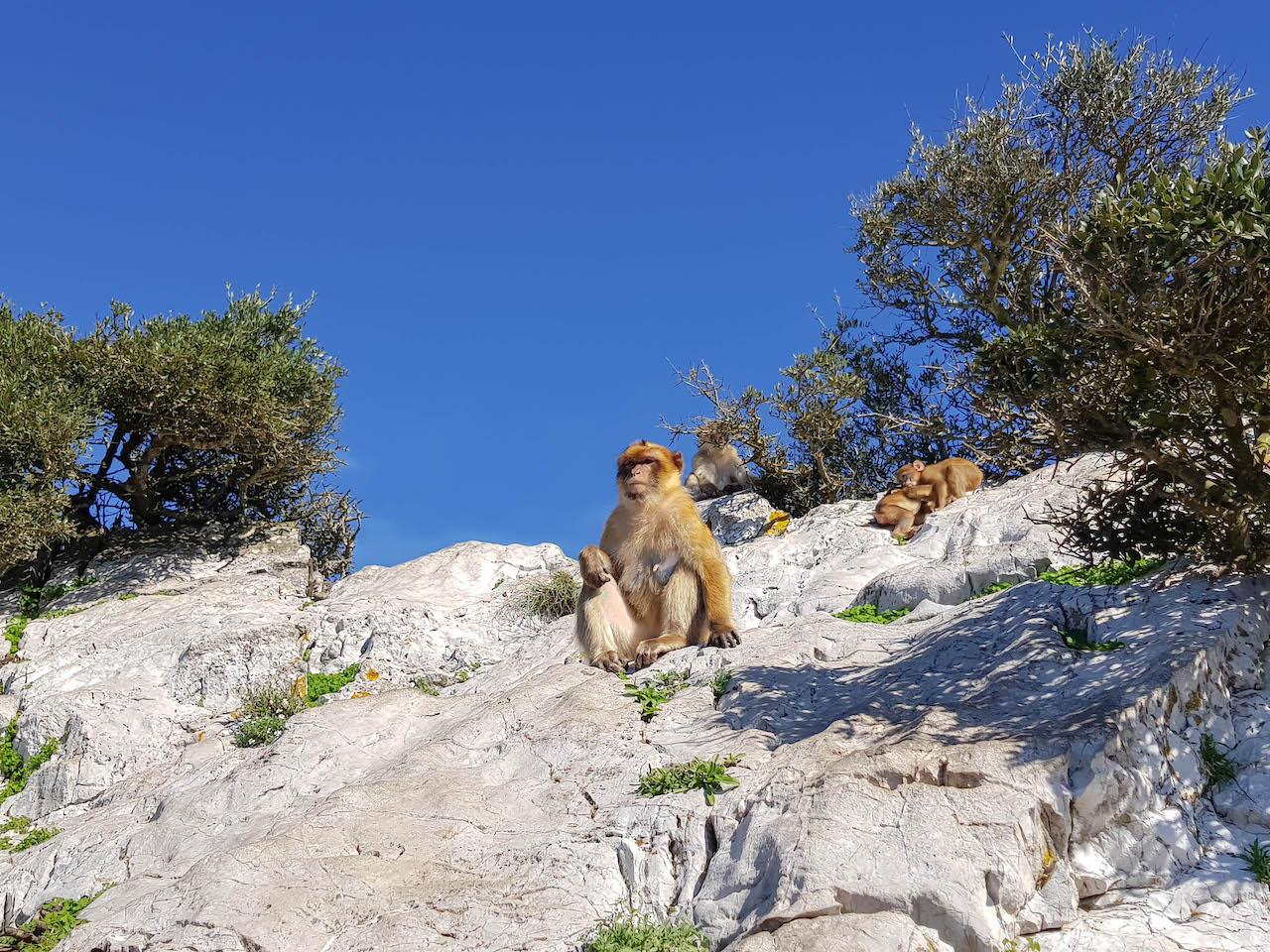 Einer der Gibraltar-Affen.