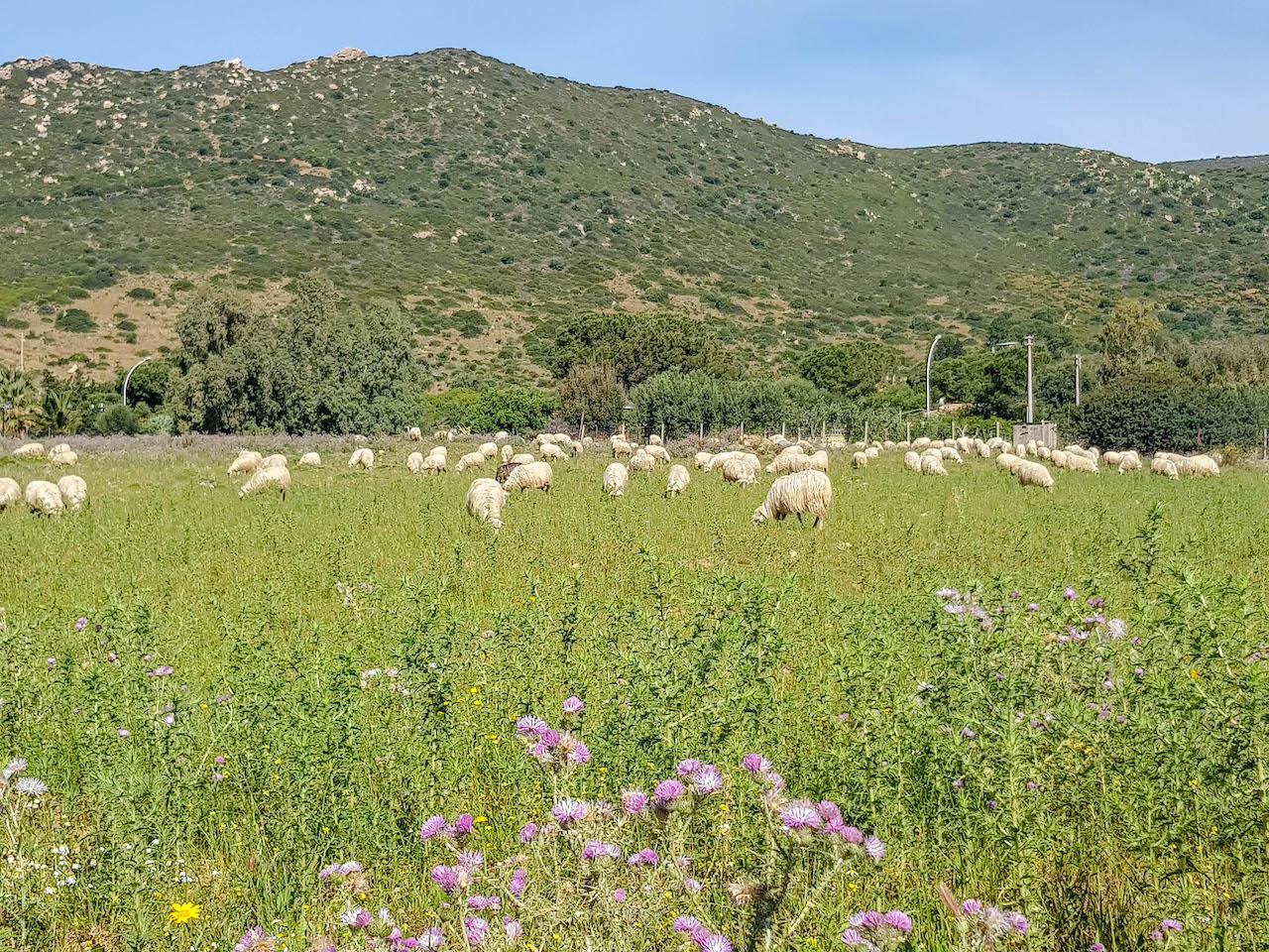 Auf Sardinien gibt es unzählige Schafe - sehr zur Freude unserer Tochter.