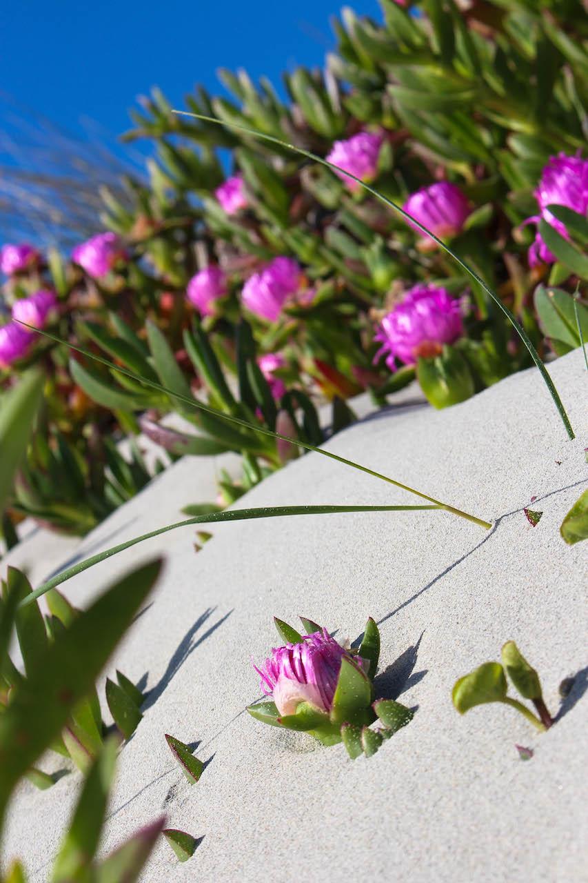 Im Frühling blüht die Dünenlandschaft bei La Pelosa.
