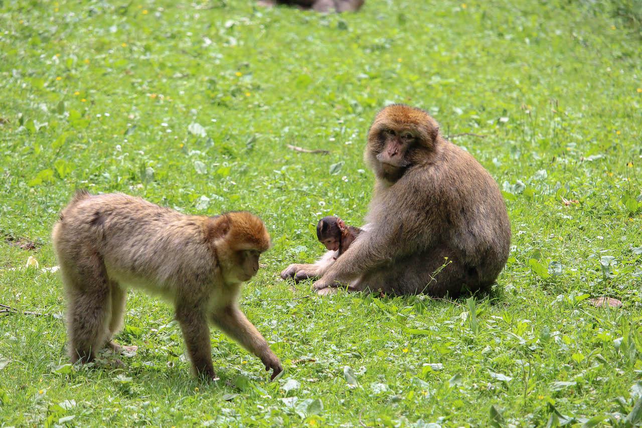 Affenmami mit Baby auf dem Affenberg.